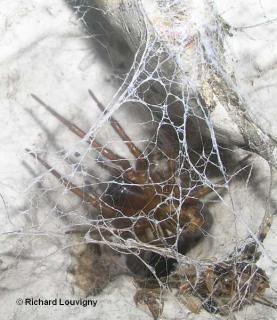 Amaurobius ferox 2