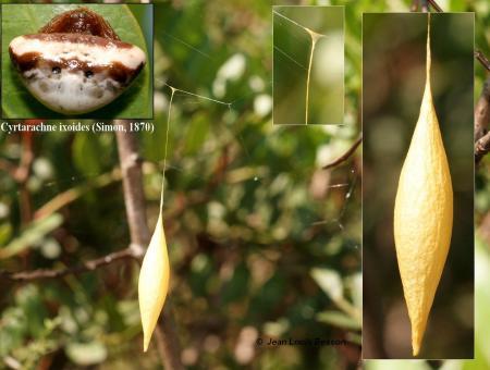 Cyrtarachne ixoides 4