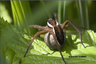 Dolomedes fimbrie