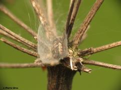 Larinioides cornutus3