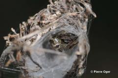 Larinioides cornutus4
