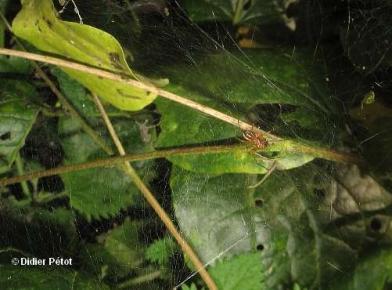 Linyphia hortensis