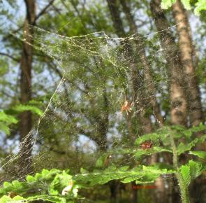 Linyphia hortensis3