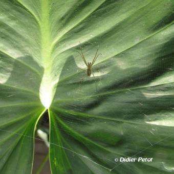Nephila pilipes 2
