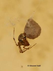 Parasteatoda tepidariorum 1