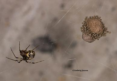 Parasteatoda tepidariorum 3