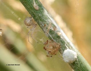 Platnickina nigropunctata 4