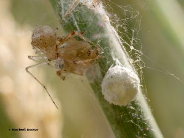 Platnickina tincta 4