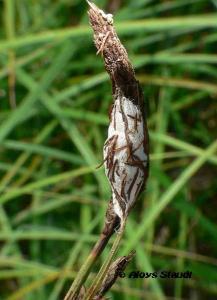 Sitticus floricola 3