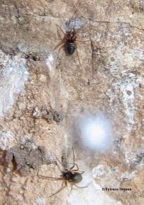 Trichoncus helveticus